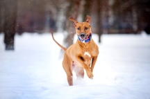 Lovely Rhodesian Ridgeback dog running in winter